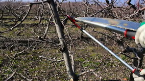Pruning apple trees. Fruit grower works pruning apple trees,video clip stock footage