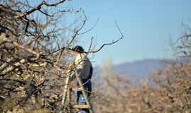 Pruning of apple trees with secateurs in the orchard. Shallow dof Royalty Free Stock Photo