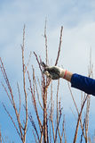 Pruning apricot brunches with the pruner Stock Image