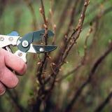 Pruning Black Current. In garden stock image