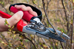 Pruning black current with secateurs Stock Photography