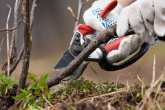 Pruning black current with secateurs. Hands in gloves pruning black current with secateurs in the garden Stock Photography