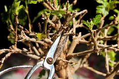Pruning a bonsai tree stock images