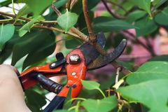 Pruning branch with secateurs Royalty Free Stock Images