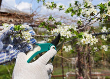 Pruning Branches. Hands in gloves pruning branches in spring Royalty Free Stock Photo