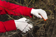 Pruning in bright gloves. Pruning in bright red and white gloves Stock Image