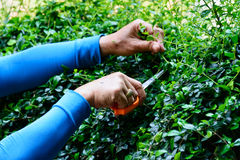 Pruning a bush. Worker is pruning a bush royalty free stock images
