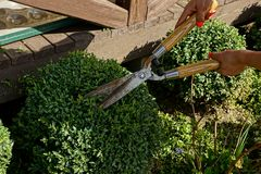 Pruning of a bush with large garden scissors in hands Royalty Free Stock Photography