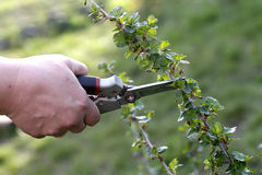 Pruning of bush with secateurs in the garden. Hand with secateurs pruning of bush  in the garden Royalty Free Stock Image