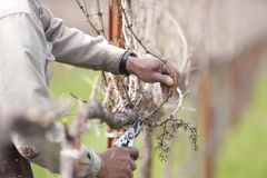 Pruning California wine grapes Stock Photo