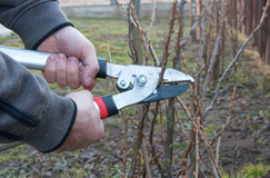 Pruning currant bush. Pruning of the currant bush Stock Image