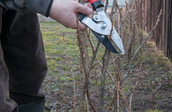 Pruning currant bush. Pruning of the currant bush Royalty Free Stock Photo