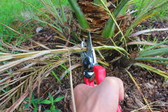 Pruning Date palm tree with secateurs Stock Image