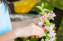 Pruning a flower. Detail of hands with clippers  cutting flowers Royalty Free Stock Photo