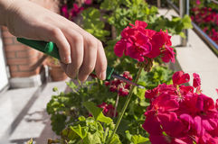 Pruning a flower Royalty Free Stock Photos