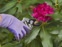 Pruning flowers royalty free stock photography