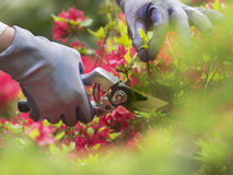 Pruning flowers. Hand with pruning shears on an azalia background Stock Images