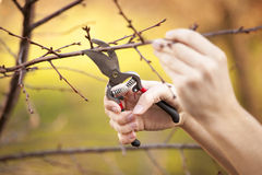 Pruning fruit tree - Cutting Branches at spring Royalty Free Stock Images