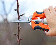 Pruning an fruit tree Royalty Free Stock Photo