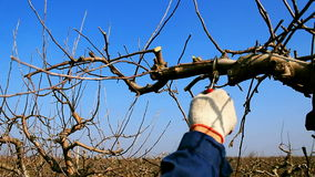 Pruning fruit trees with garden shears stock video