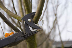 Pruning fruit trees by pruning  shears. Stock Photography
