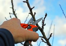 Pruning fruit trees by pruning shears Royalty Free Stock Photography