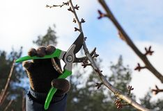 Pruning fruit trees by pruning shears Royalty Free Stock Images