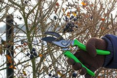 Pruning fruit trees by pruning shears Royalty Free Stock Image