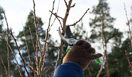 Pruning fruit trees by pruning shears Stock Images