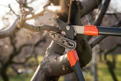 Pruning fruit trees with pruning shears. Pruning fruit trees with professional tools pruning shears royalty free stock image