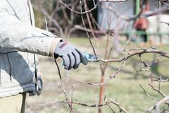 Pruning fruit trees by pruning shears stock photos