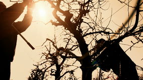 Pruning fruit trees. Two gardeners working spring pruning fruit trees in the orchard.Shot against the sun,video clip stock video footage