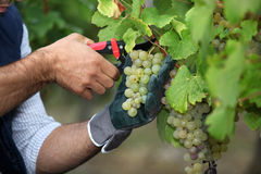 Pruning grapes. From the vine Stock Photography
