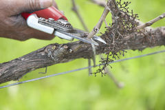Pruning grapevine close-up Stock Images