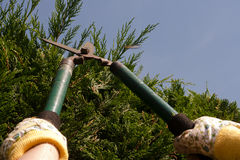 Pruning the hedge. A gardener trims a hedge with shears on a summer day Royalty Free Stock Photo