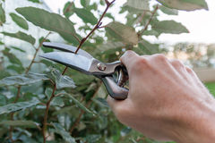 Pruning an hedge in the garden, seasonal garden work Royalty Free Stock Image