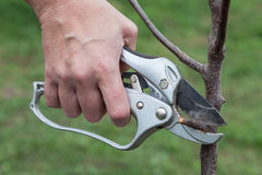 Pruning knot on young tree Stock Photo