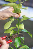 Pruning lemon tree. In early spring Royalty Free Stock Image