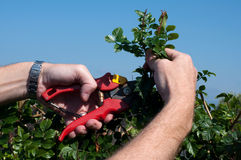 Pruning. A mans hands holding secateurs and pruning in the garden Royalty Free Stock Image