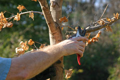 Pruning a Maple Tree Stock Image