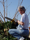 Pruning the mulberry tree Royalty Free Stock Image