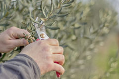 Pruning olive tree branches. Farmer´s  hands holding red cutter and cut olive tree branches Stock Photos