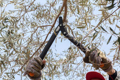 Pruning olive tree Stock Image