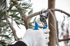 Pruning the olive tree Royalty Free Stock Photos
