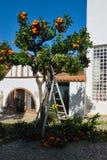 Pruning orange tree Stock Images