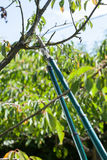 Pruning in a orchard Stock Photography