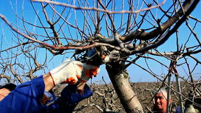 Pruning of orchards. Two fruit grower working spring pruning fruit trees in the orchard,video clip stock video