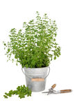 Pruning Oregano herb Stock Photography