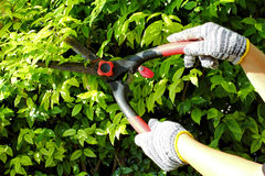 Pruning of ornamental trees. Pruning of ornamental trees by scissors in the strong sun Stock Photography