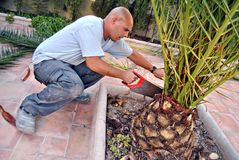 Pruning a Palm stock photo